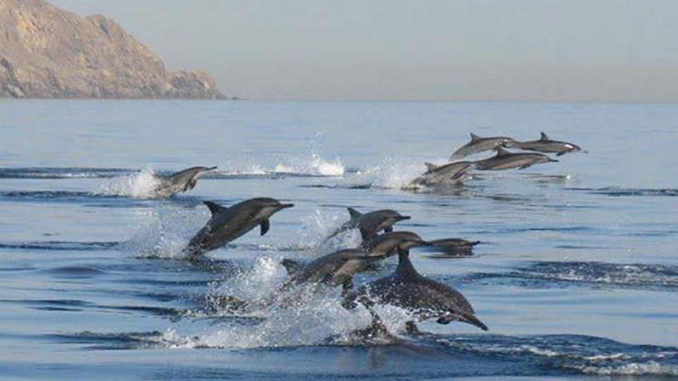 dolphin1-copy