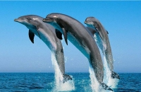 dolphins watching Oman